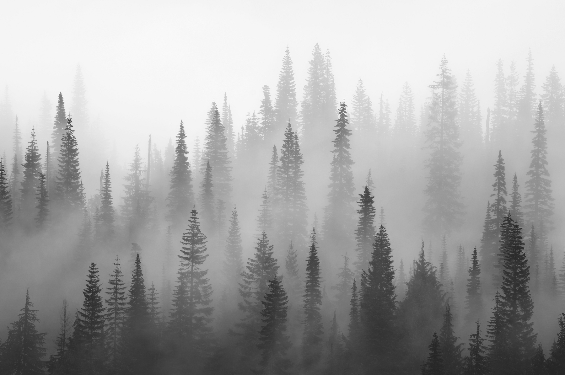 Misty forest black and white Wall mural | Forest