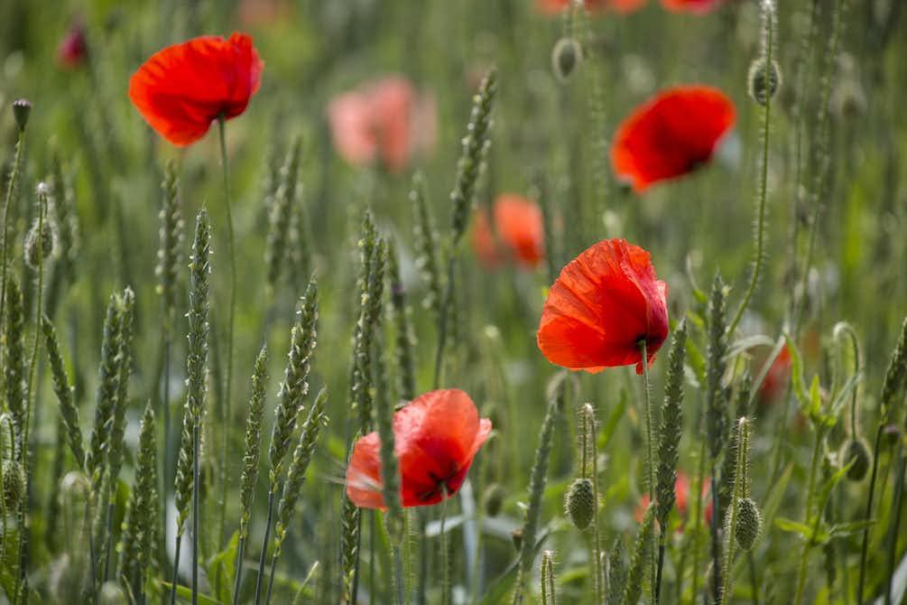 Buy poppy flower field wall mural free us shipping at happywall poppy flower field wall mural mightylinksfo