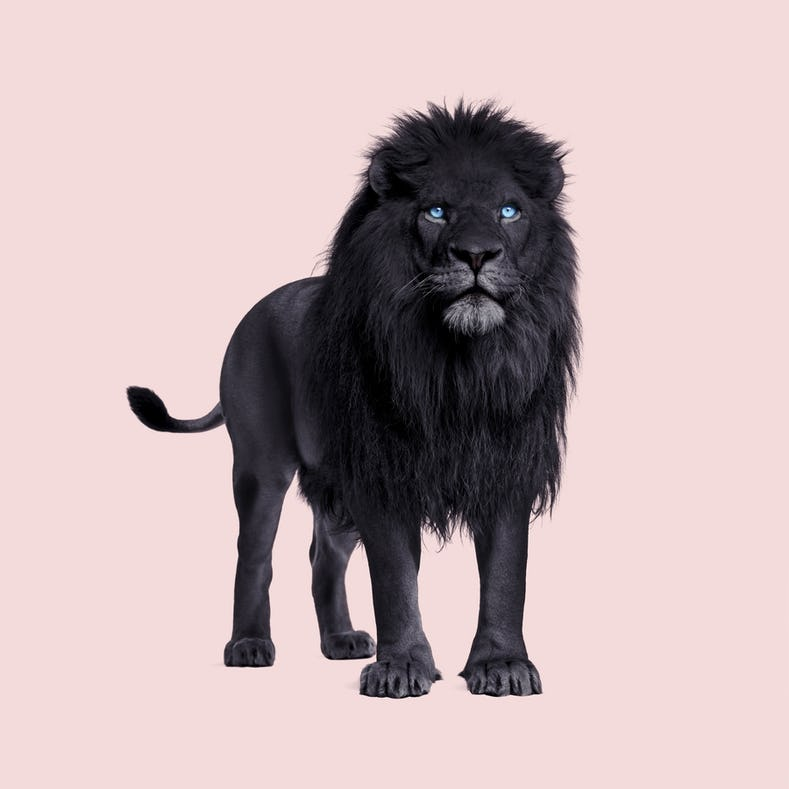 Buy Black Lion Wallpaper Free Us Shipping At Happywall Com