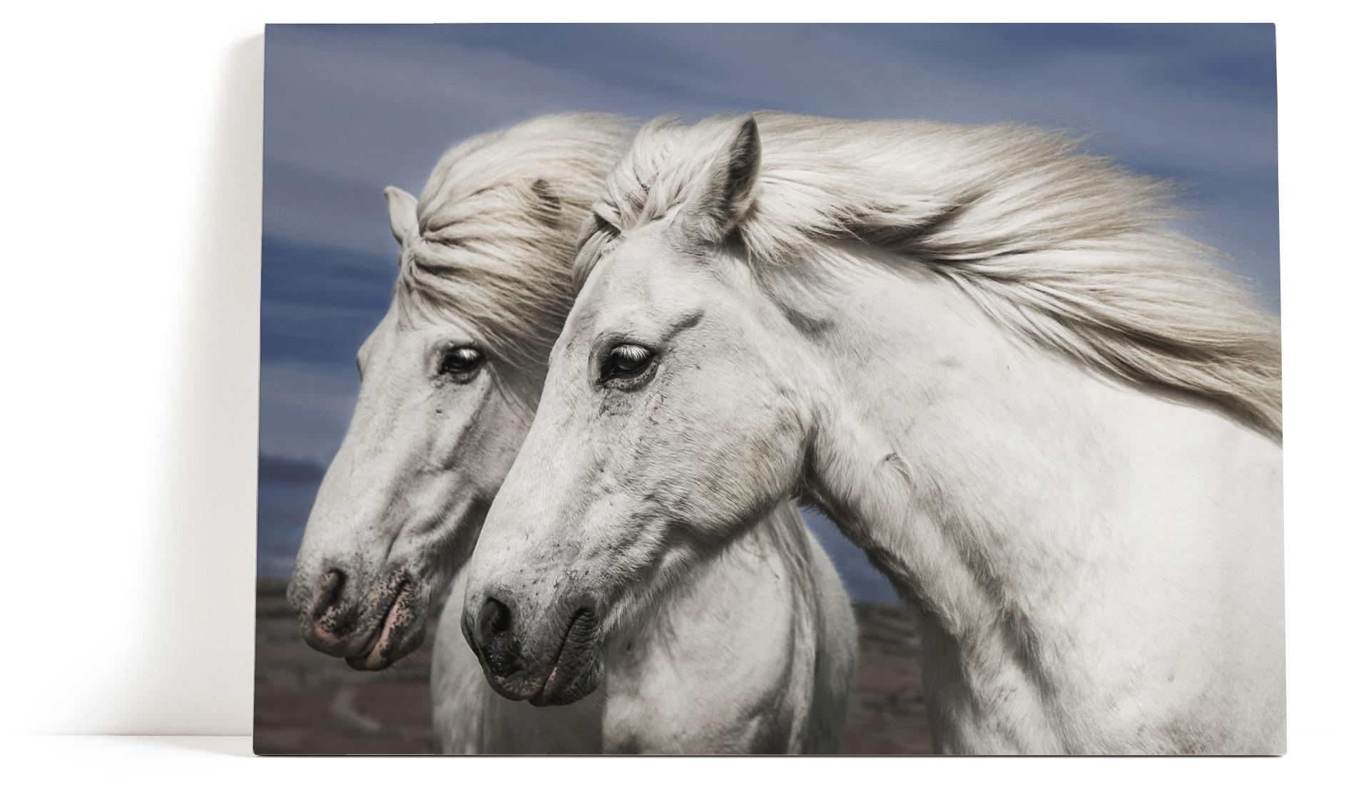 Hvite Hester Veggbilde Lerretsbilde Hvit Hest Svart